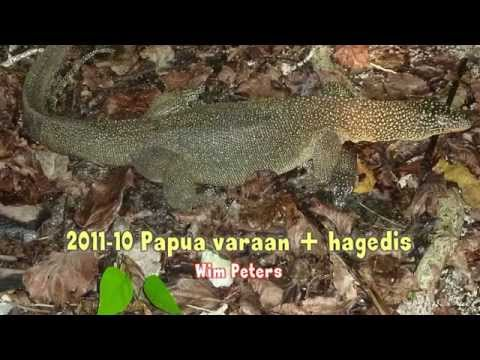 Papua lizard أقصى चरम ekstrim