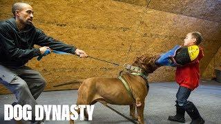 Hulk 'Attacks' 6YearOld Pit Bull Trainer | DOG DYNASTY