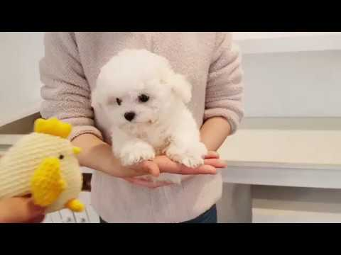 Teacup bichon frise for sale full grown 2.5kg - Teacup puppies KimsKennelUS