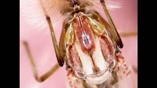 Мотыль.От личинки до комара. Комар под микроскопом. (Chironomidae,Bloodworms,Chironomus)