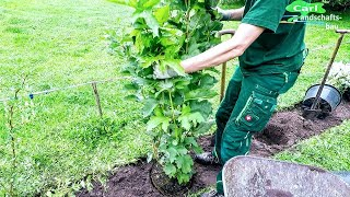 Download How To Plant A Hedge Flowers Free Growing Low Maintenance