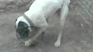 порно пес