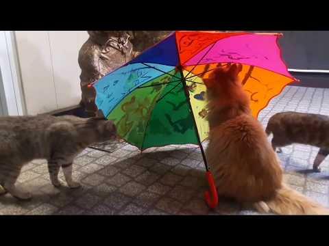 Видео Про кошек. Игры с зонтиком.