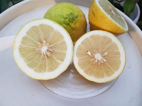 Лимон Пандероза Лимон Юбилейный