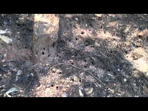 Mining Bees Fighting Over Burrow, Nesting Site.