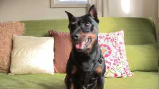 Min Pin For Adoption! Adopt Skippy The Miniature Pinscher.