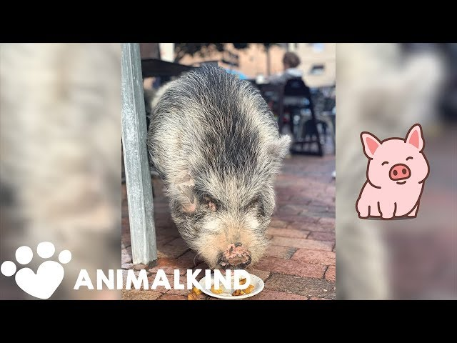 Adventurous pig goes on wayward journey | Animalkind