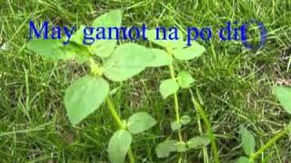 Euphorbia Hirta  Anti Dengue