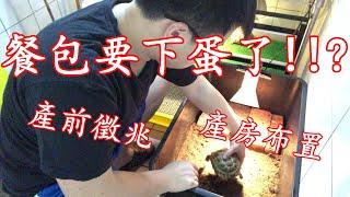 陸龜繁殖全紀錄EP.1(產前徵兆)(產房布置)九桃分享養爬蟲-《Reptiles》