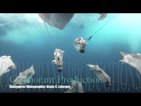 Blue & White Marlins On Dredge Cam