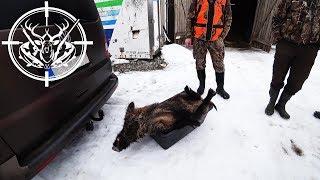 Охота #190 на кабана, загонная, с собаками