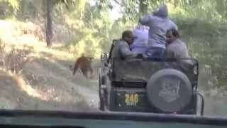 Kanha National Park - India - AM Safari #2 - Tiger Encounter - 21 November 2014