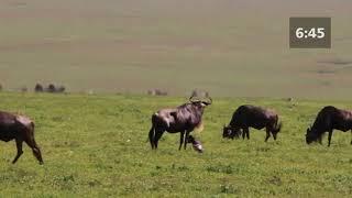 Wildebeest Birth - Newborn baby wildebeest walks 9 minutes after birth