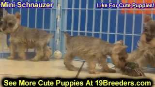 Mini Schnauzer, Puppies, For, Sale, In, Lexington, County, Kentucky, Ky, Bowling Green, Owensboro, C