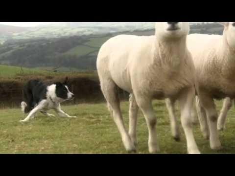 Beautiful Sheepdogs ( Border Collie / Collies ) in training