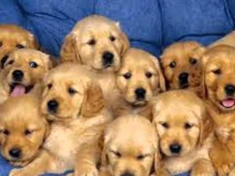 video de gossos