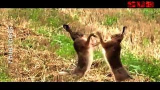 Wild Rabbits FIGHT!