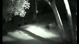 real wolfman felmed by a security camera near a forest  / serious