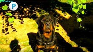 Поздравления от ротвейлера Congratulations from the Rottweiler