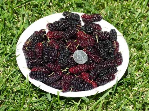 Illinois everbearing mulberry pruned low for easy picking youtube sciox Image collections