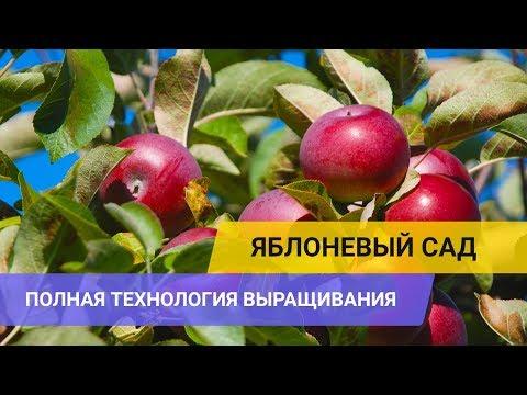 ЯБЛОНЕВЫЙ САД: полная технология выращивания (обрезка, уход, подкормки, сбор и другие операции)