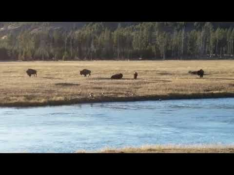 American Bison Fight Yellowstone National Park October 3rd 2017