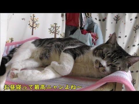 キャットタワーでまったり♥可愛い姿で寝る猫リキちゃん【リキちゃんねる 猫動画】Cat video キジトラ猫との暮らし