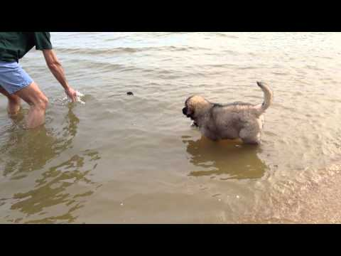 Leonberger Puppy Raina learns to swim part 2