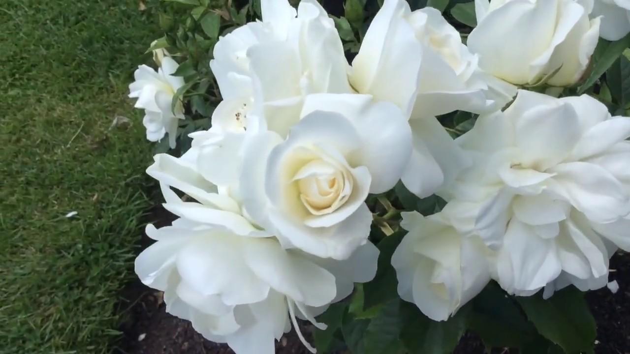 Rosa Iceberg Floribunda White Rose Flowers In Garden Rosa Iceberg