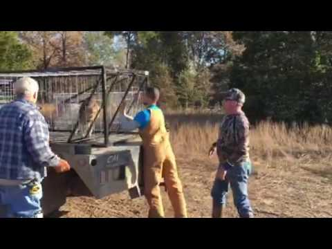 Feral Hog Rodeo Round Up Youtube