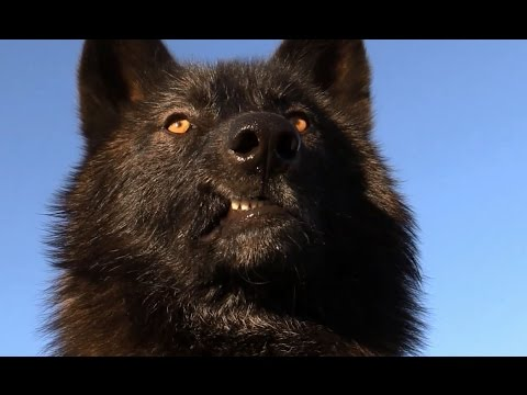 Scary Intelligent Wolves & Wolfdogs - Watch this...