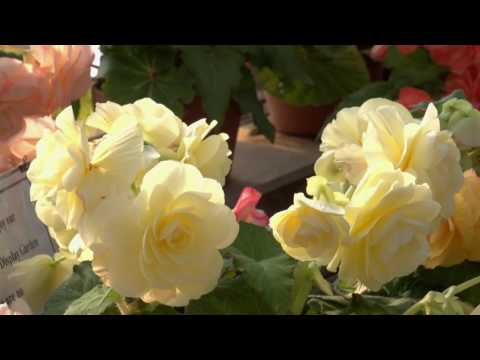 A tour of the Begonia House at White Flower Farm