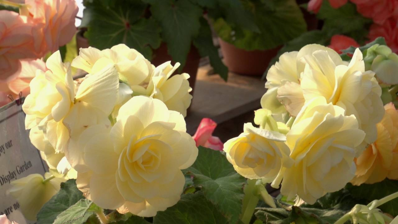 A Tour Of The Begonia House At White Flower Farm Youtube