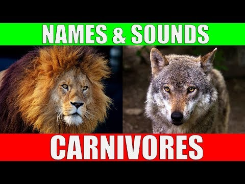 CARNIVOROUS ANIMALS Names And Sounds | Learn Carnivore Animals