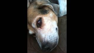 Beagle Dreams Of Eating Pizza
