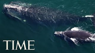 This Type Of Whale Could Become Extinct Soon Unless New Steps Are Taken To Protect Them | TIME