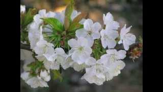 Cerezo en flor Valle del Jerte. Fiesta de Interés Turístico Nacional