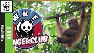 De orang-oetang maakt elke avond een bed van bladeren (en nog meer feitjes over deze mensapen)