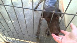 Arabella German Shorthaired Pointer Female 27 July 2015
