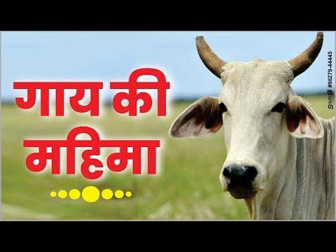 गाय-की-महिमा---जानिये-इस-विडियो-में-आखिरी-तक-देखे- -by-ramswaroopacharya-ji-maharaj