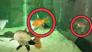 KÖPEK BALIĞINA 3 JAPON ATTIM ( ANINDA YEDİ ) - Canavar Balıklar