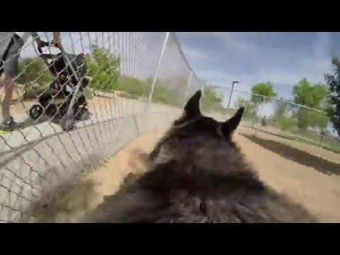 Siberian Husky Dog Vlog #29 Freya Cam with GoPro Fetch Dog Harness in 4K Chris Voss