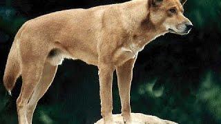 ВСЯ ПРАВДА О собаке Динго  Документальные фильмы