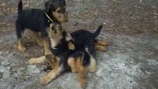 S & S Family Airedales - Video Of Airedale Terrier Puppies - 11 Weeks Old