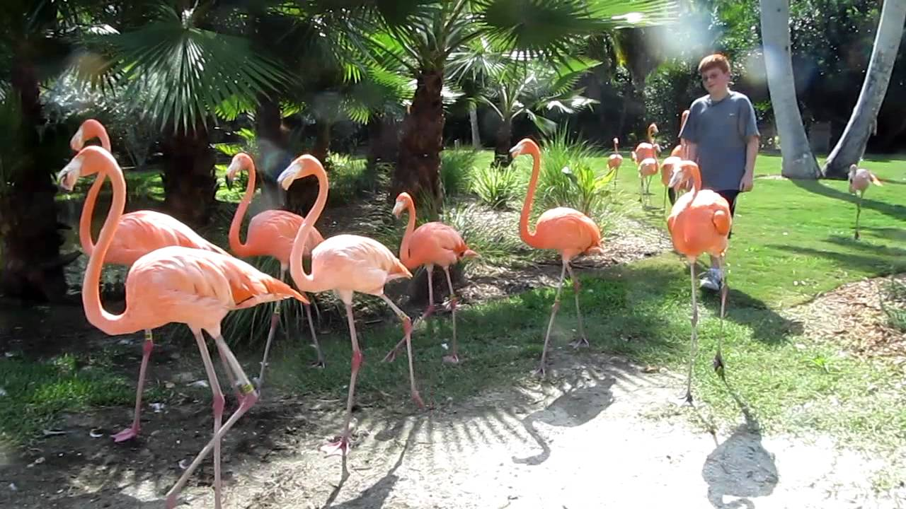 A Parade Of Flamingos At Sarasota Jungle Gardens Youtube