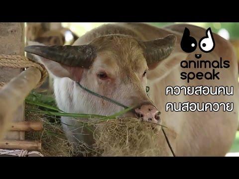 Animals Speak [by Mahidol] ควายสอนคน คนสอนควาย