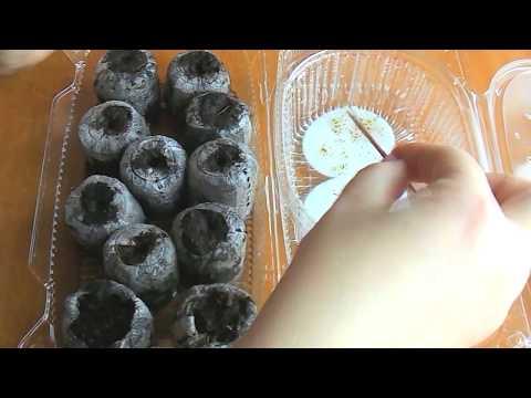 Посадка росточков земляники в торф