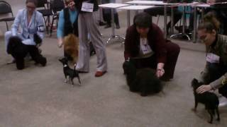Выставка собак, русская цветная болонка.Юниоры.