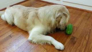 English Cream Golden Retriever Playing With Starmark Pickle Pocket Treat Dispensing Toy - 1 Year Old