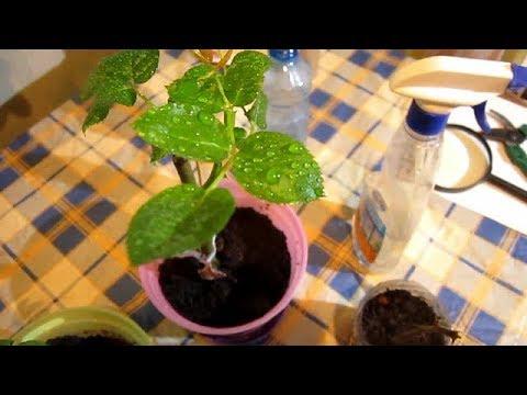 Как сохранить укоренившиеся черенки роз зимой